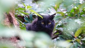 Hidden black cat. A black cat hiding in woods royalty free stock photography