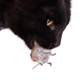Black cat with his prey, a dead mouse Royalty Free Stock Images