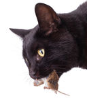 Black cat with his prey, a dead mouse Royalty Free Stock Photography