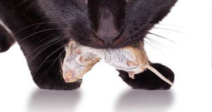 Black cat with his prey, a dead mouse Stock Image