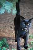 Black Cat Hissing Royalty Free Stock Photography
