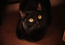 Black cat. At home under the bed Stock Image