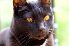 Black cat with honey color eyes Royalty Free Stock Photos