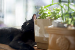 Black cat. Black house cat bowie sits in sun cat stock photos