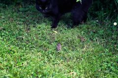 Black cat hunting a little field mouse royalty free stock images