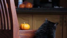 Black cat inspects mini pumpkin. Black cat inspects small pumpkin sitting on a chair stock footage