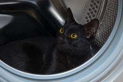 Black cat is interesting in washing machine. European home kitten is nice Royalty Free Stock Photography