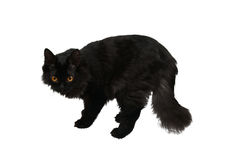 Black cat isolated. On white background stock images
