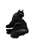 Black cat isolated Royalty Free Stock Photography