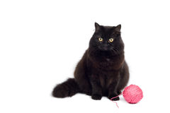 Black cat isolated. On white Royalty Free Stock Images