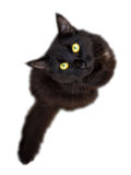 Black cat isolated on white background looking up at camera Royalty Free Stock Photo