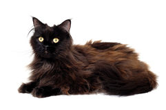 Black cat isolated on a white background stock image