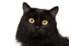 Black cat isolated on white. Portrait of Black cat isolated on white background Stock Photography