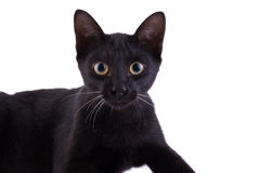 Black cat kitten looking at the camera, isolated on white Stock Images