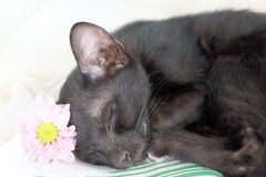 Black cat kitten sleep Stock Images