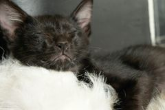 Black cat kitten sleep Royalty Free Stock Photos