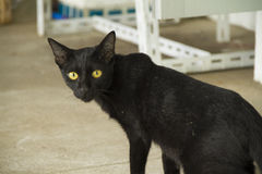 Black Cat. In Lanpang Thailand Stock Images