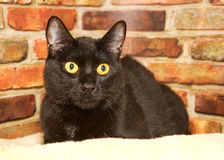 Black cat laying in bed against a brick wall. Portrait of one black cat with golden yellow eyes crouched down on a sheepskin bed looking to viewers right, brick Stock Image