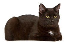 Black cat laying down and isolated on white Stock Image