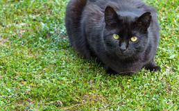 Black cat laying on grass. Black cat lying on a green grass, with green/yellow eyes Royalty Free Stock Image