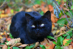 The black cat Royalty Free Stock Photo