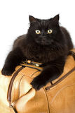 Black cat on a leather bag isolated Royalty Free Stock Photos