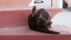 Black cat licks  on a red staircase. Feral cat stock video