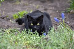 Black cat lie in wait in the garden, dark beast with light green eyes, beautiful animal, eye contact. Black cat lie in wait in the garden, dark beast with light stock photos