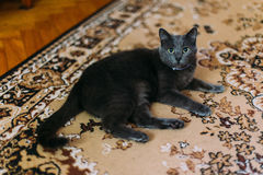 Black cat lies on the carpet with eastern-style patterns at home and resting, looking to camera Stock Image