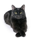 Black cat lies on a white background, looks in the camera. Royalty Free Stock Image