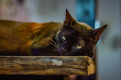 Black cat lies on a wooden bench and with dreamy eyes looks into the camera, has yellow-green eyes stock image