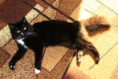 Black cat lolling about on the carpet Royalty Free Stock Images