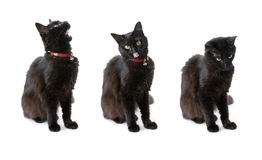 Black cat with long hair isolated on white Stock Photo