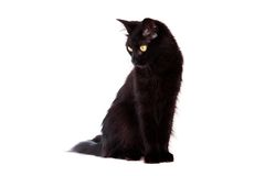 Black cat with long hair looking down Royalty Free Stock Photos