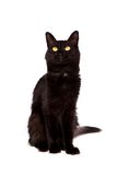 Black cat with long hair looking up Royalty Free Stock Photo