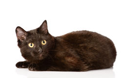 Black cat looking at camera. isolated on white background Stock Image