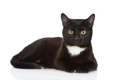 Black cat  looking at camera.  on white background Stock Photography
