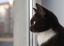 Black cat looking out the window Stock Images