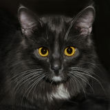 Black cat looking to you. Black cat looks at you with long white whiskers and bright yellow eyes, closeup Stock Images