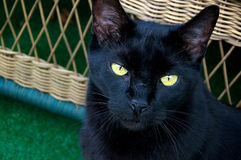 Black cat looking up Royalty Free Stock Photo