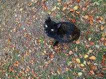 Black cat looking up. Black cat with green eyes looking up in the middle of  fallen leaves royalty free stock photo