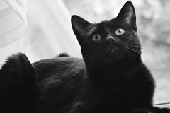Black cat looking up. With the net curtain in the background Royalty Free Stock Photos