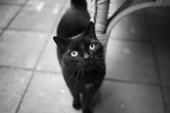 A black cat is looking up. Black and white photography Stock Image