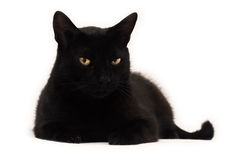 Black cat looking at you. Black cat with yellow eyes over white background Royalty Free Stock Photo