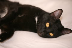 Black cat is looking at you with yellow eyes Stock Image
