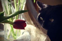 Black cat looks on a red tulip Royalty Free Stock Images