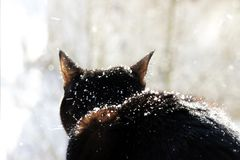 A black cat looks with surprise at falling snowflakes during a snowfall. A black cat looks with surprise at falling snowflakes during a snowfall royalty free stock photos