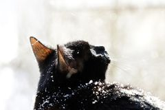 A black cat looks with surprise at falling snowflakes during a snowfall. A black cat looks with surprise at falling snowflakes during a snowfall stock photography