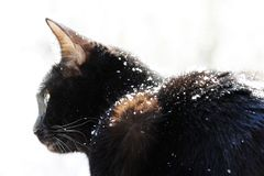 A black cat looks with surprise at falling snowflakes during a snowfall. A black cat looks with surprise at falling snowflakes during a snowfall stock image