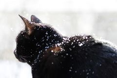 A black cat looks with surprise at falling snowflakes during a snowfall. A black cat looks with surprise at falling snowflakes during a snowfall royalty free stock images